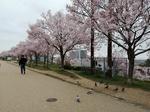 R2池堤桜 (2).jpg